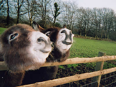 Tamar Valley Donkey Park attraction, Gunnislake